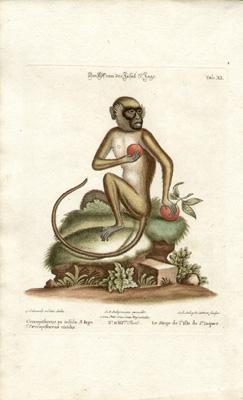 Le Singe de l'Isle de St. Jaques, Tab XI [ St. Jacques Island monkey]
