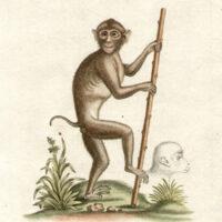 Singe à Queue de Cochon, de l'Isle de Sumatra, datis la Mer des Indes