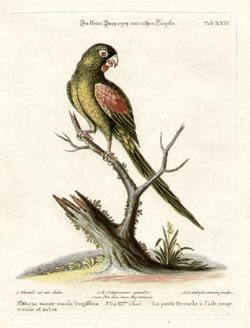La petite Perruche à l'aile rouge, Tab XXIV [Small red-winged parakeet]