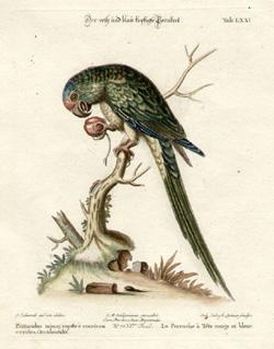 La Perruche à Tête rouge et bleue, Tab LXXI [Parakeet with red and blue head]