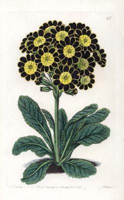 Robert Sweet Botanical Prints