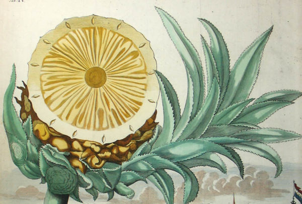 Pineapple: Natural History Study