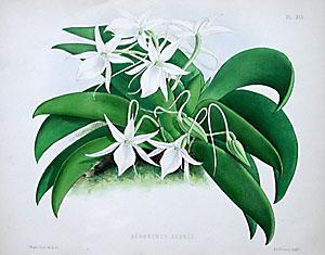 Moore's Orchid Album