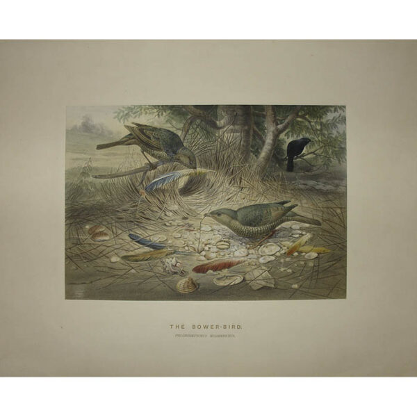 The Bower-Bird