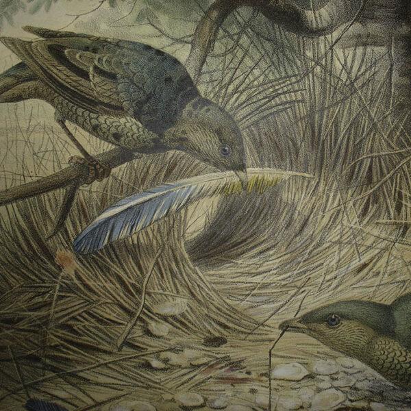 The Bower-Bird, detail