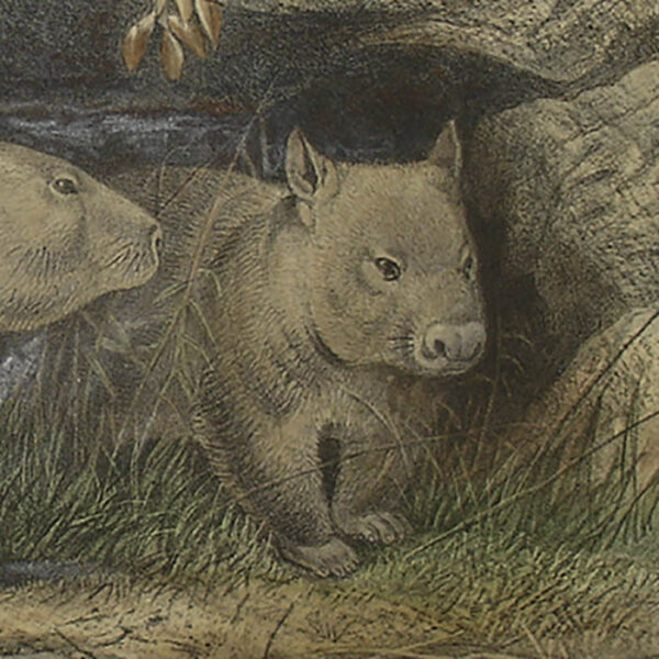 The Hairy-Nosed Wombat, detail