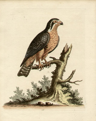 Little Black and Orange-Colour'd Indian Hawk