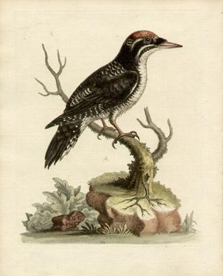 The Three Toed Wood-Pecker