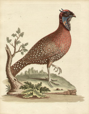 The Horned Indian Pheasant