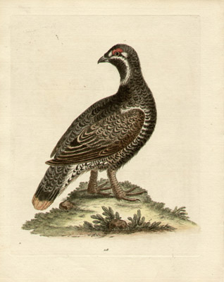 The Black and Spotted Heath-Cock