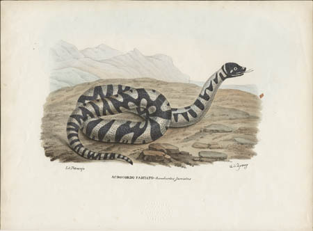 Acrocordo Fasciato -- Acrochordus fasciatus