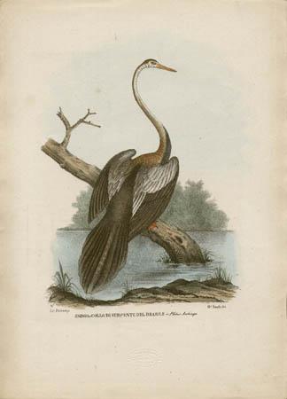 Aninga o Collo Serpente del Brasile -- Plotus Anhinga