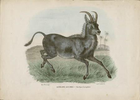 Antilope Azzurra -- Antilope Leucophaea