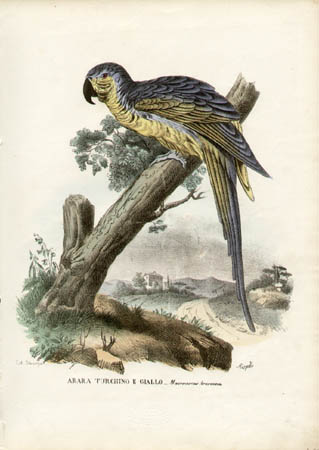 Arara Turchino e Giallo -- Macrocercus Ararauna