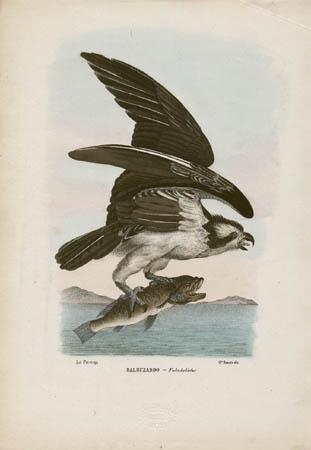 Balbuzardo -- Falco haliaetus