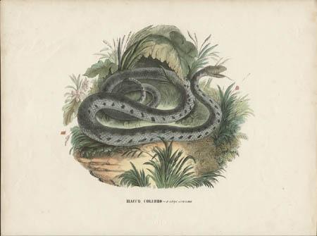 Biacco, Colubro -- o serpe comune