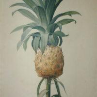 Bromelia Ananas, Ananas Cultivé