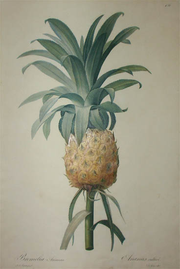 Bromelia Ananas, Ananas Cultive, Plate 456 Cultivated Pineapple