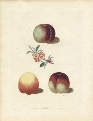 Plate XXXIII