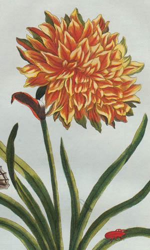 Buchoz botanical detail
