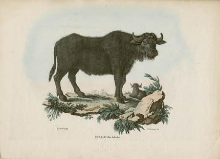 Bufalo -- Bos bubulus
