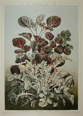 Centaurea Candidissima, Iresine Herbstii