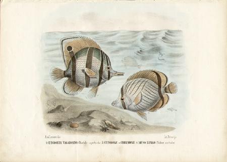 1. Cetodonte Vagabondo -- Chaetedon vagabundus  2. Cetodone o Chelmone di Muso Lungo -- Chelmon rostratus