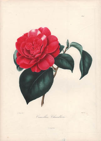 Camellia Chandlerii
