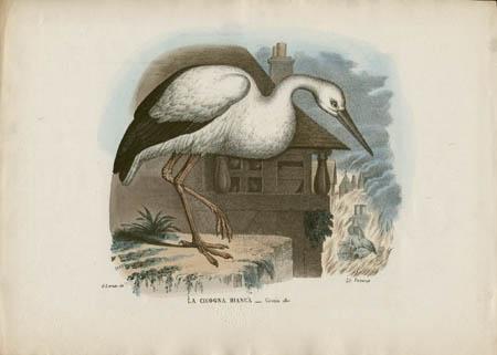 La Cicogna Bianca -- Ciconia alba