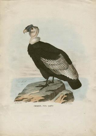 Condoro -- Vultur gryphus