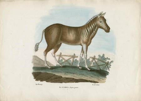 Il Cuagga -- Equus quacohre