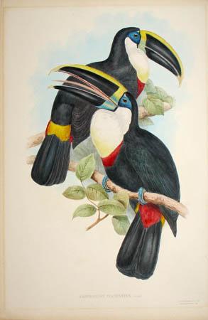 Ramphastos Culminatus (Gould)