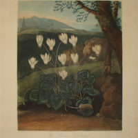 The Persian Cyclamen