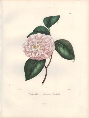 Camellia Drouard Gouillon