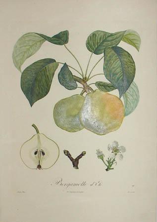 Plate 148, Bergamotte d'Eté