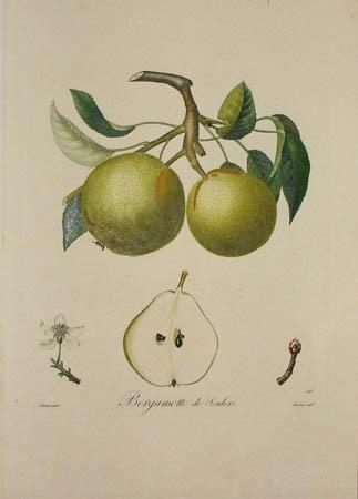 Plate 393, Bergamotte de Soulers