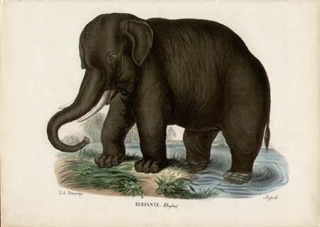 Elefante -- Elephas