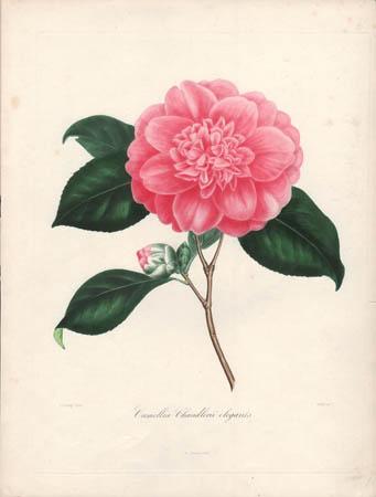 Camellia Chandlerii Elegants