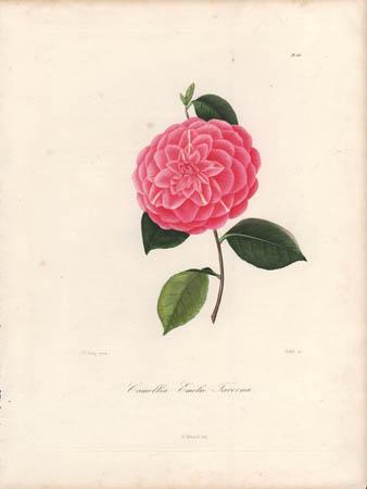 Camellia Emélie Taverna