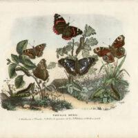Farfalle Diurne [Atalanta, etc.]
