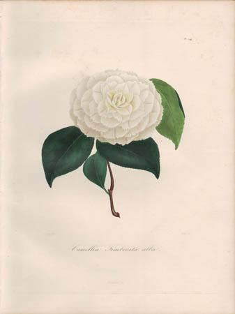 Camellia Fimbriata Alba