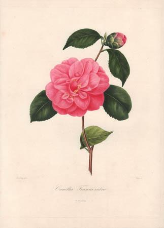 Camellia Fraserii Rubra