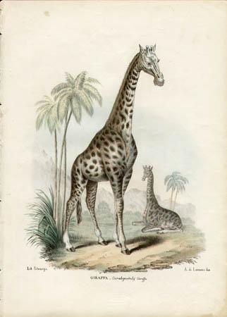 Giraffa -- Cameloparlis Giraffa