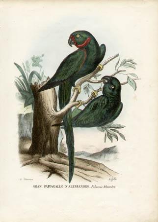 Gran Pappagallo D'Alessandro -- Paloeornis Alexandri