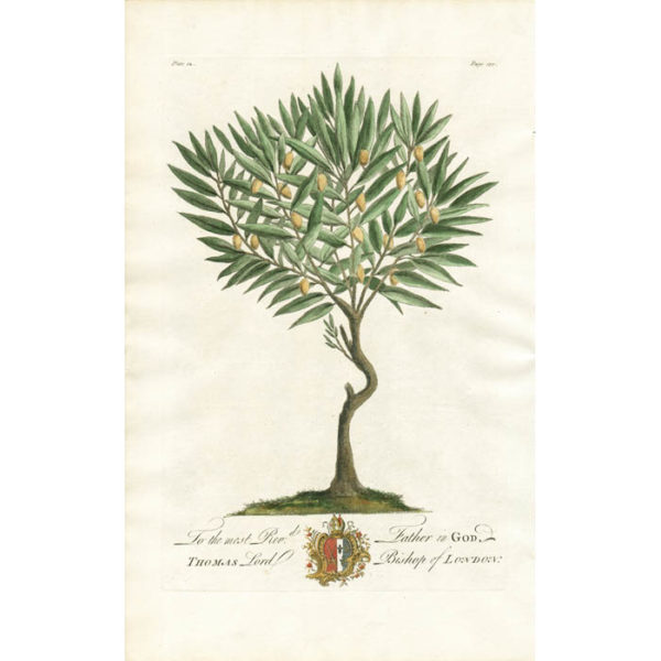 The Wild Olive-Tree. Plate 12.