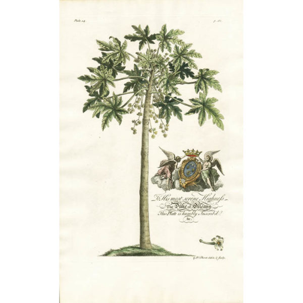 The Male Popaw Tree; Papaya. Plate 14.