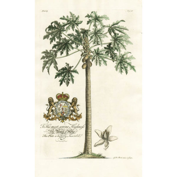The Female Popaw Tree; Papaya. Plate 15.