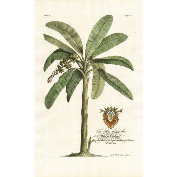 The Banana-Tree. Plate 16.