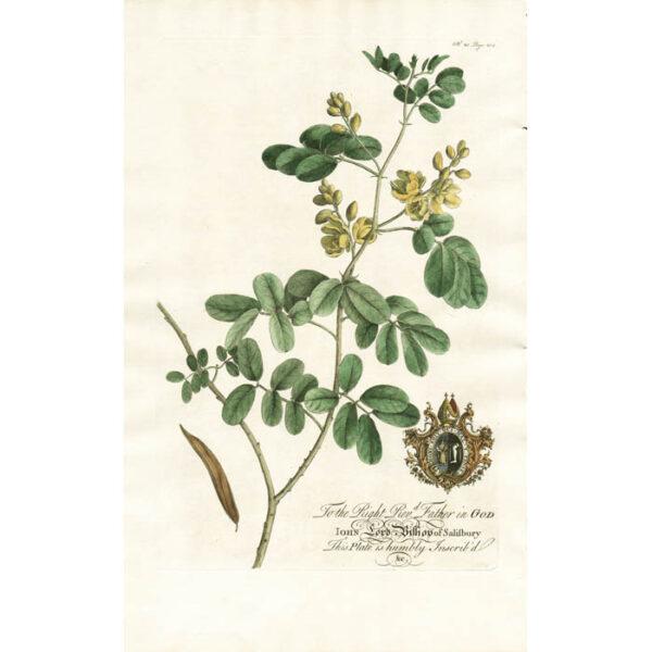 The Wild Sena, or the Wild Cassia Fistula; Lat. Colutea. Plate 20. Page 205.