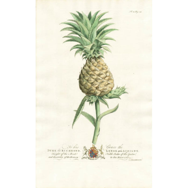 The Pine Apple; Lat. Anana [Pineapple]. Plate 21. Page 231.